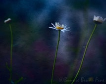 Nature Photography - Daisy in the Spotlight - minimalistic art - painterly photo - digitally painted photo - home decor -