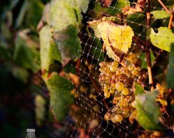 Sunset Grapes On The Vine 5x7 Print