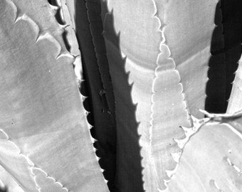 Black and white photograph fine art Image of a Blue Agave