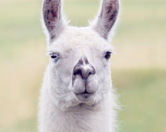 White Llama Photograph, Nursery Wall Art, Pastel Colors