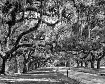 Avenue of Oaks - Boone Hall Plantation Charleston South Carolina - Fine Art Photograph - Oak Trees Spanish Moss 5x7 8x10 11x14 16x20 24x30