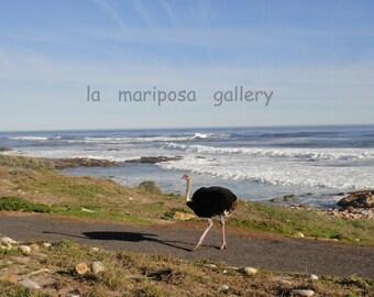 Original Fine Art Photo of Ostrich Walking on Path Along Ocean in South Africa