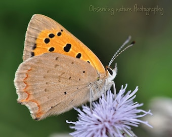 Small Copper Fine Art Photography Download
