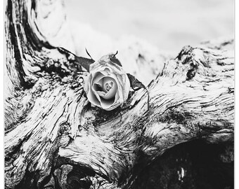 Rose and beach driftwood photograph, Ansel Adams inspired fine art print, beach decor