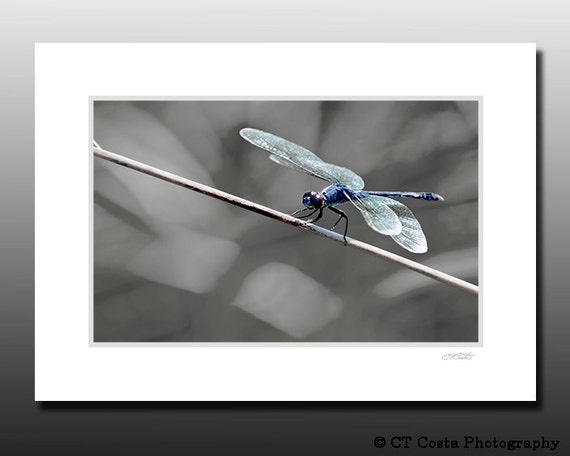 Blue Dragonfly Art Print, Small Signed Matted Print, insect photography, Fits 5x7 inch frame