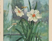 Narcissus. 1926 country cottage garden old fashioned botanical color lithograph print