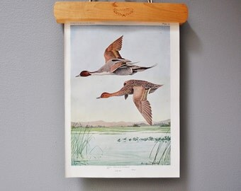 Vintage Bird Book Plate - Pintail Duck - 1940s