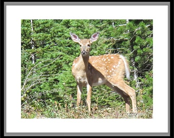 White Tail Deer Fawn, Animal Photography, Cards and Prints