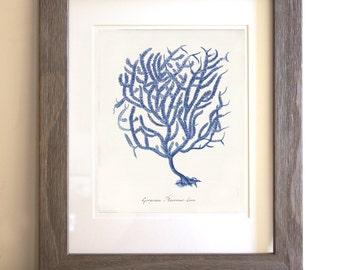 Antique Blue Coral Art Print - Natural History - Coral Gorgonia placomus - Beach Decor - Home Decor