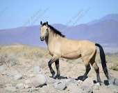 Riley 2 - Buckskin Mustang Stallion