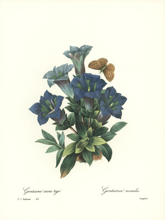 Botanical Art Print, Blue Trumpet Flowers (Vintage Office Wall Art, Redoute No. 45)
