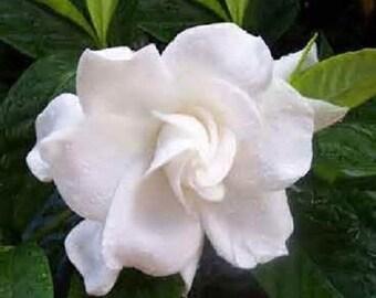5 Jasmine Gardenia Seeds-1152