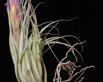 Tillandsia carminea-Braziliam Miniature Species