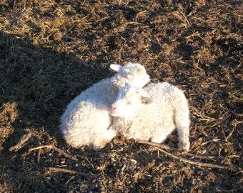 Icelandic Lamb Fleece