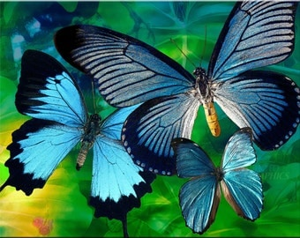 Butterflies Blue Fine Art Print Matted or Unmatted Various Sizes Avaliable