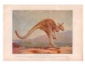 1917 Vintage Kangaroo Animal Print, Wall Art Illustration, Wildlife Nursery Art