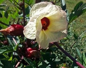 Jamaica sorrel Seeds - Roselle - Hibiscus  sabdariffa -- Medicinal Herb