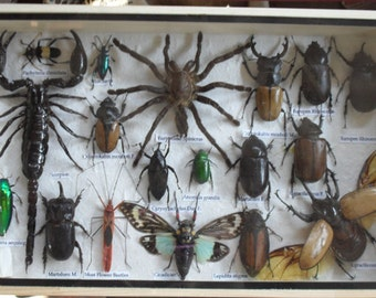 REAL Multiple INSECTS BEETLES Spider Scorpion Cicada Collection in wooden box/is08Y