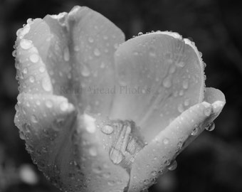 black and white tulip photograph, 5 x 7 matted photo, raindrops on flower, photography