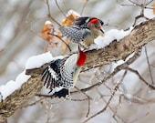 Red-bellied Woodpeckers--birds x 2