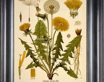 BOTANICAL PRINT Kohler 8x10 Botanical Art Print 33 Beautiful Yellow Dandelion Wildflower Flower Chart Nature to Frame