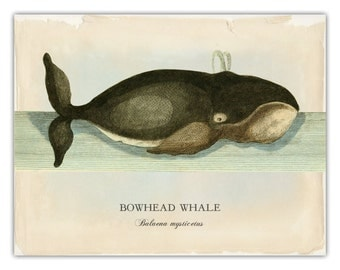 Bowhead Whale Print, Whale Art, Coastal Living, Nautical Life Print, Nautical Art, Beach Decor, Coastal Wall Art, Bowhead Print