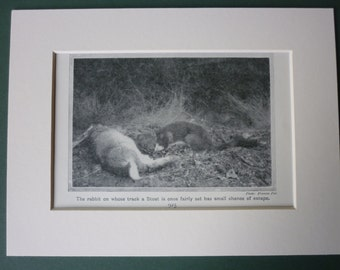 1920s Vintage Stoat Print - Nature Photography - Natural History Print - Black & White - Rabbit - Vintage Print - Nature Print - Wildlife