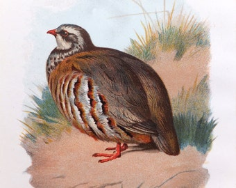French Partridge - Christmas Antique Bird Print - Vintage Bird Illustration - Bird Print from Swaysland, Familiar Wild Birds