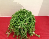 Mature Succulent Plant. String of Pearls.  Senecio Rowleyanus. Made for  hanging baskets and trailing bouquets.