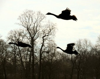 Not The UFO - 3 Giant Geese - Winter Birds - Nature Art - Bare Trees - Winter Tone - Animal (Bird) Photograph - Nature Photography