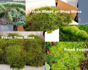 Moss Live Moss Sample, Beautiful Green Moss.