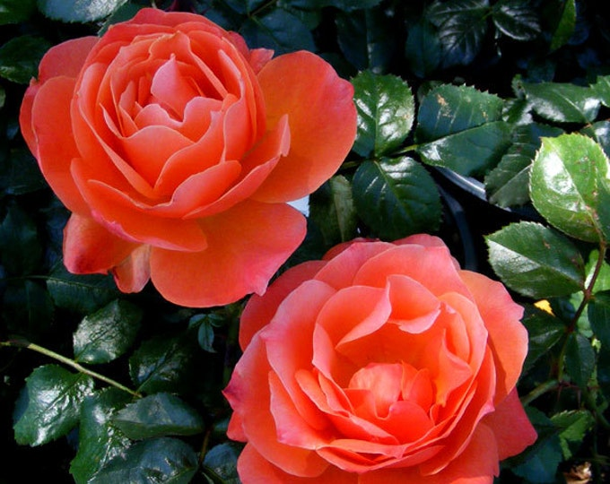 "Livin Easy Rose Plant Orange Floribunda Rose Grown Organic 5"" Deep Root Container Living Easy - Own Root - Ships Now"