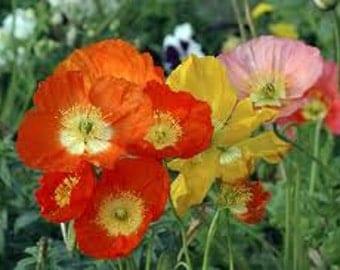 Californian Poppy flower seeds,mix flower seeds,82,eschscholzia californica, flower seeds,gardening
