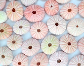 "10 Pink Sea Urchins (1.25""-2"") - Beach Wedding Decor - Air Plant Shells"