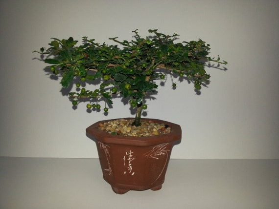Fukien Tea Tree