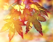 Nature photography, Autumn trees, Acer, Leaves, Fall, Orange, Wall Art, Home Decor.