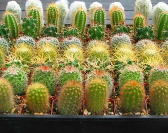 30 Party Favors Potted Mini Cactus Collection in 2 inch pots