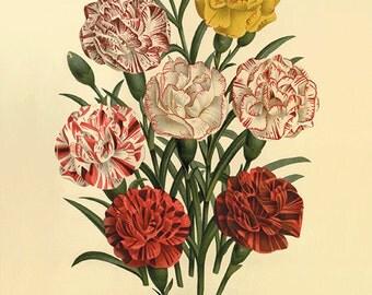 Carnation art print Antique flower art botanical art prints garden wall art home decor wall art flowers old prints French art Victorian art