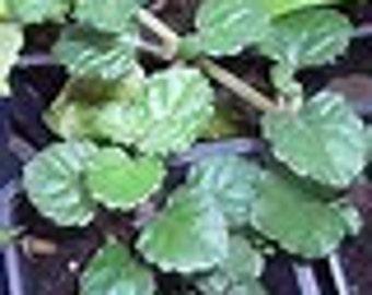 Trailing Red Stem Swedish Ivy Starter Plant