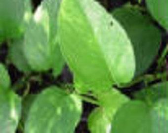 """Golden """"Devil's Ivy"""" Pothos Starter PLant"""