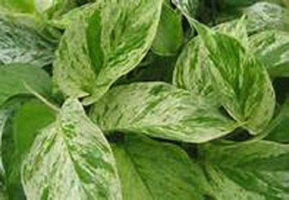 Green Amp White Variegated Marble Queen Pothos Starter Plant