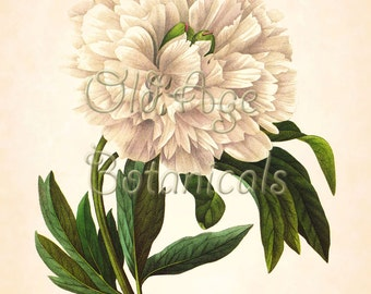 REDOUTE 11x14 Botanical Art Print Antique Engraving Plate 102 Floral Old Prints White Large PEONY Peonies Flowers Vintage Wall Decor LP1318
