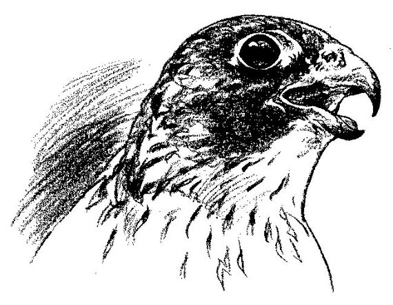how to draw a peregrine falcon flying step by step