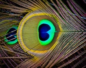 Colorful macro photo of peacock's feather. Fine art home decor photography. Printed on canvas.