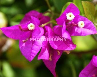 Gorgeous Bougainvillea Purple Flower - Hawaiian Garden - Hawaii - Maui