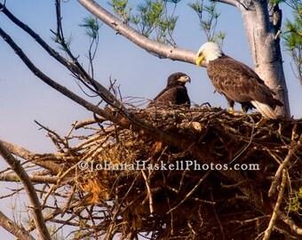 Bald Eagle on Nest-  8x10 Fine Art Nature Willdlife Photography
