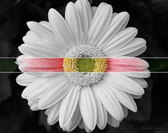 Color Belt Amazing Pictures Photo Print by Michael Taggart Photography flower gerbera daisy white pink