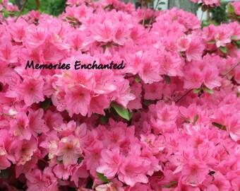 Pink Flower Photo 4x6, 5x7