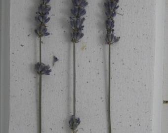 Herbarium of lavender