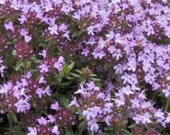 Creeping Thyme Lemon Scented 5000 Seeds